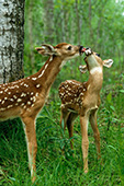 Fawn greeting its sibling with a lick