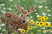 Whitetail fawn in a field of flowers