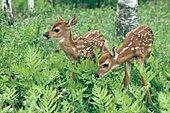 Twin fawns exploring in a forest of ferns
