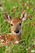 Whitetail fawn resting in a meadow of wildflowers
