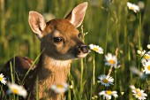 Whitetail fawn in a field of daisies