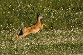 Whitetail doe leaping in a field of daisies