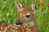 Whitetail fawn in a field of wildflowers