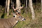 Whitetail buck in early autumn