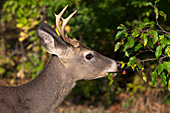 Whitetail buck eating from a crabapple tree