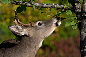 Whitetail buck eating leaves from a crabapple tree