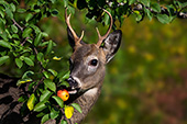 Whitetail buck eating an apple from a tree