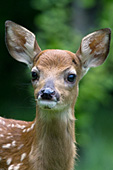 Curious whitetail fawn