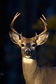 Whitetail buck in autumn forest