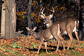 Whitetail doe & buck in autumn forest