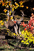 Whitetail buck jumping over a log (autumn)