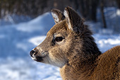 Whitetail fawn in winter