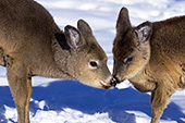 Two whitetail fawns nuzzling one another in winter