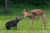 Whitetail fawn & gray wolf pup meeting for the 1st time