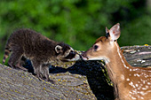 Whitetail fawn & baby raccoon meeting for the 1st time