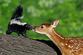 Whitetail fawn meeting a baby skunk for the first time