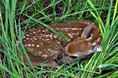 Newborn fawn hiding in tall grass
