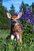 Whitetail fawn in lupine