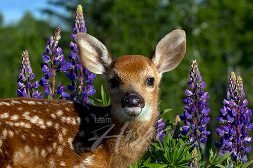 Whitetail fawn in lupine Minnesota *