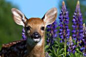 Whitetail fawn & lupines