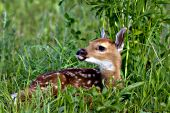 Whitetail fawn in a spring meadow