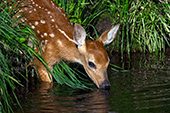 Whitetail fawn drinking from a pond