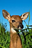 Whitetail fawn in tall grass