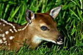 Whitetail fawn resting in a spring meadow