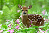 Whitetail fawn standing in a meadow of trilliums