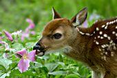 Whitetail fawn tasting a trillium flower