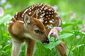 Whitetail fawn investigating a trillium flower