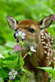 Whitetail fawn investigating a wild geranium