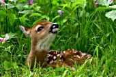 White-tailed fawn in tall grass