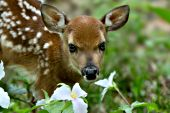 White-tailed fawn and trilliums