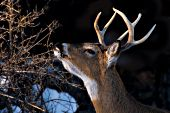 Whitetail buck browsing on winter vegetation