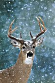 Whitetail buck in a snowstorm