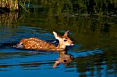 Whitetail fawn swimming across a pond