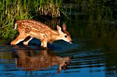 Whitetail fawn in a pond