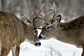 Pair of whitetail bucks greeting one another by nuzzling