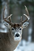 Whitetail buck with snow on his face