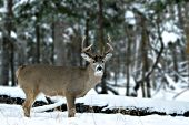 Whitetail buck in a winter forest
