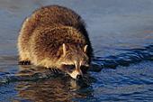 Raccoon on frozen river bank
