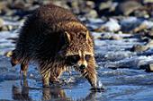 Raccoon walking on an icy river