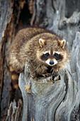 Raccoon in old tree