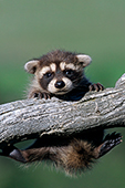 Baby raccoon hanging on to a branch
