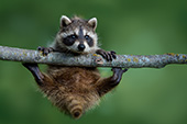 Baby raccoon in a tree