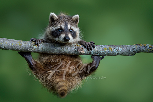 Baby raccoon in a tree Minnesota *