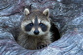 Baby raccoon peeking out of a hollow log