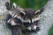 2 baby raccoons playing in the fork of a tree