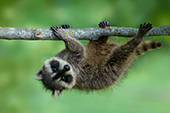 Baby raccoon hanging precariously from a tree branch